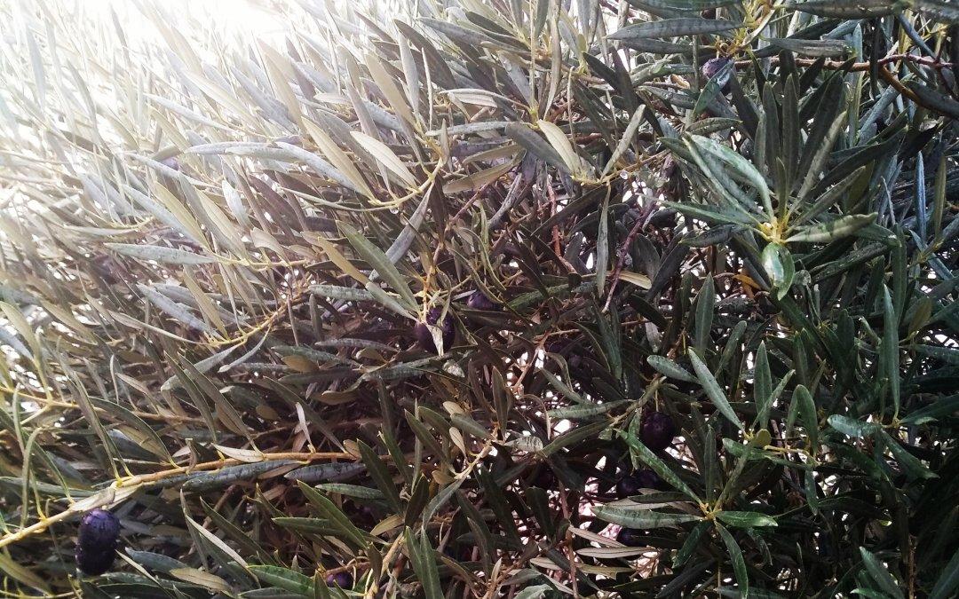 Olive leaf!